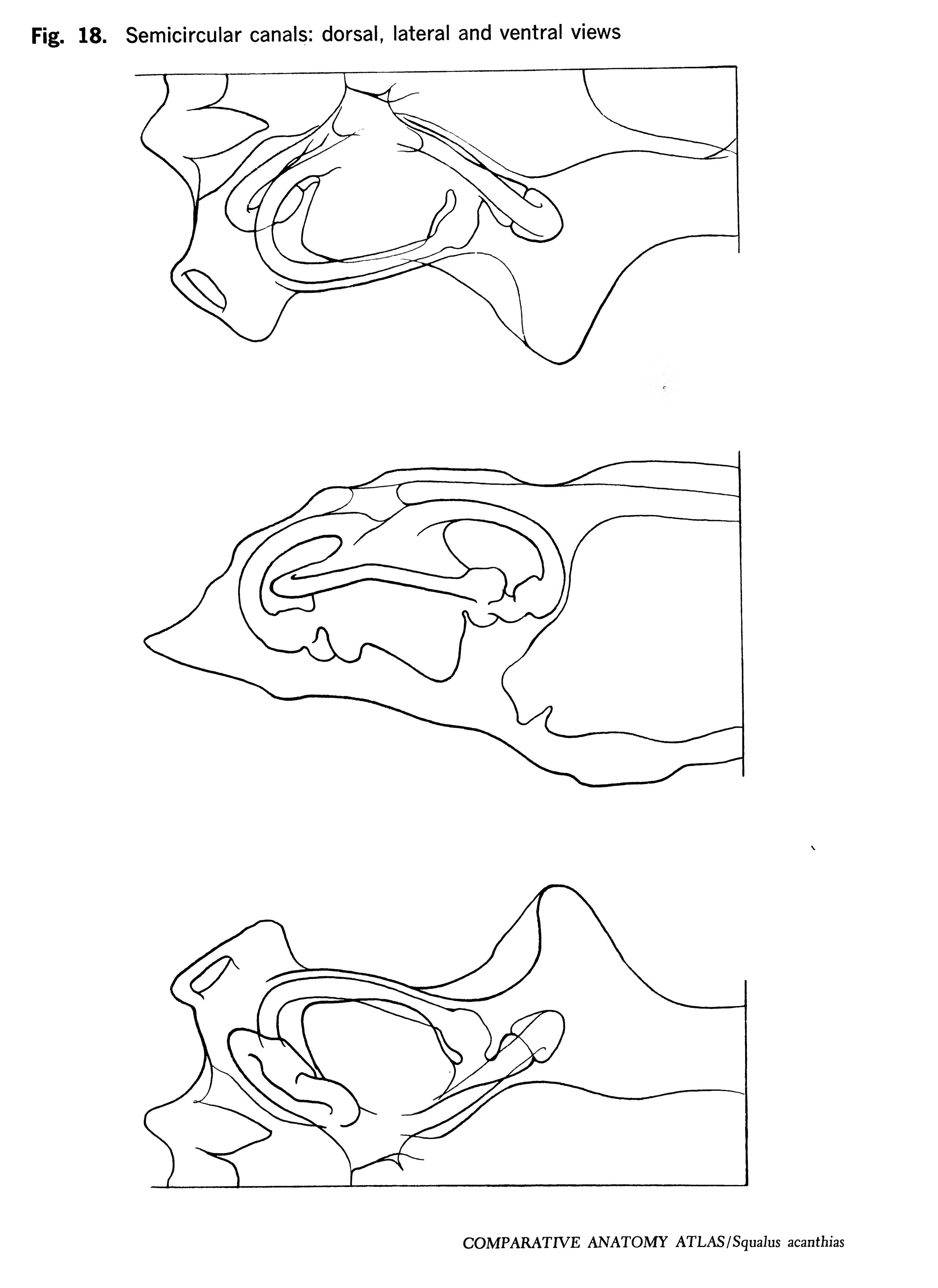 Squalus acantbias Figure 18