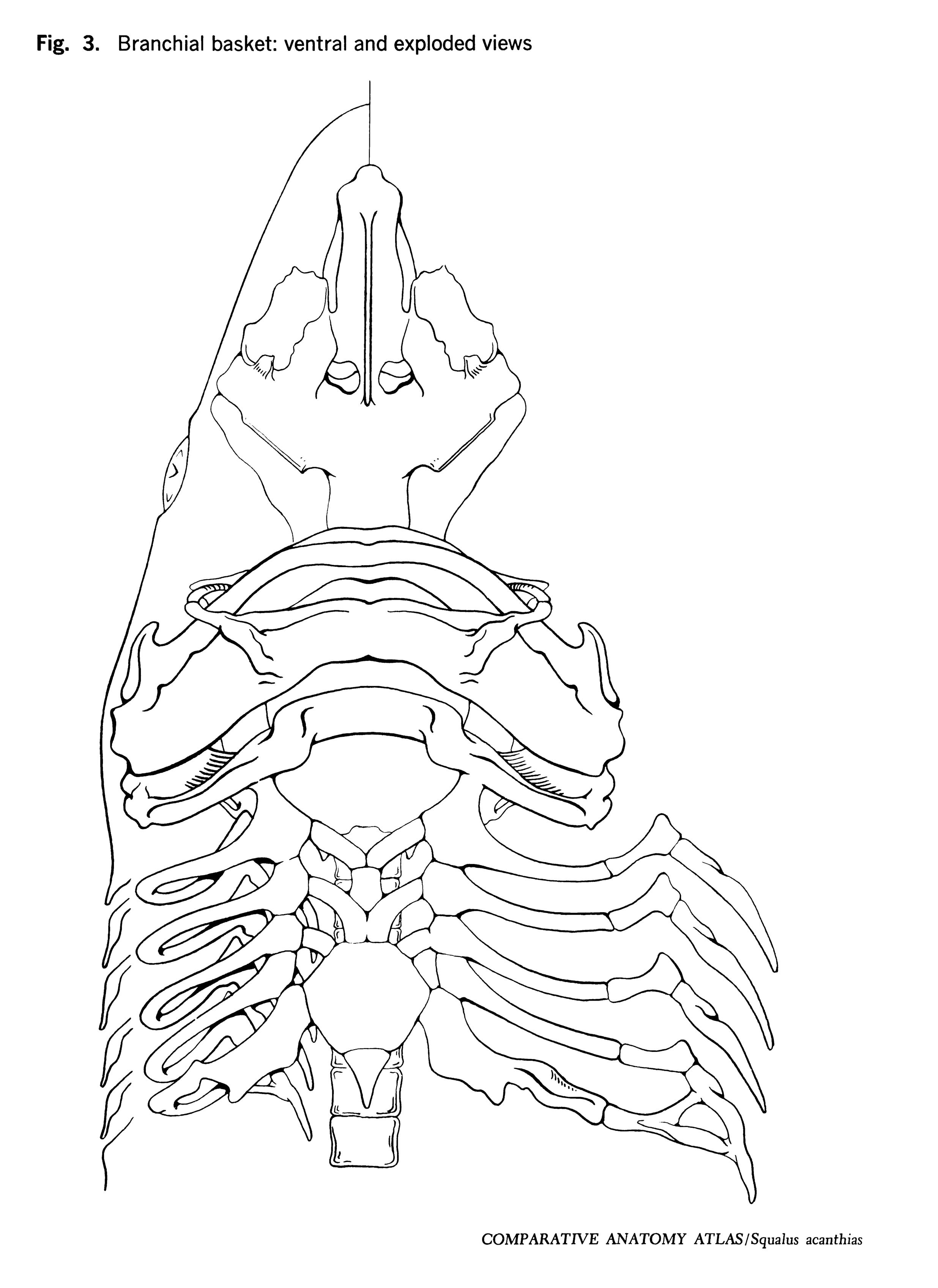 Squalus acantbias Figure 3