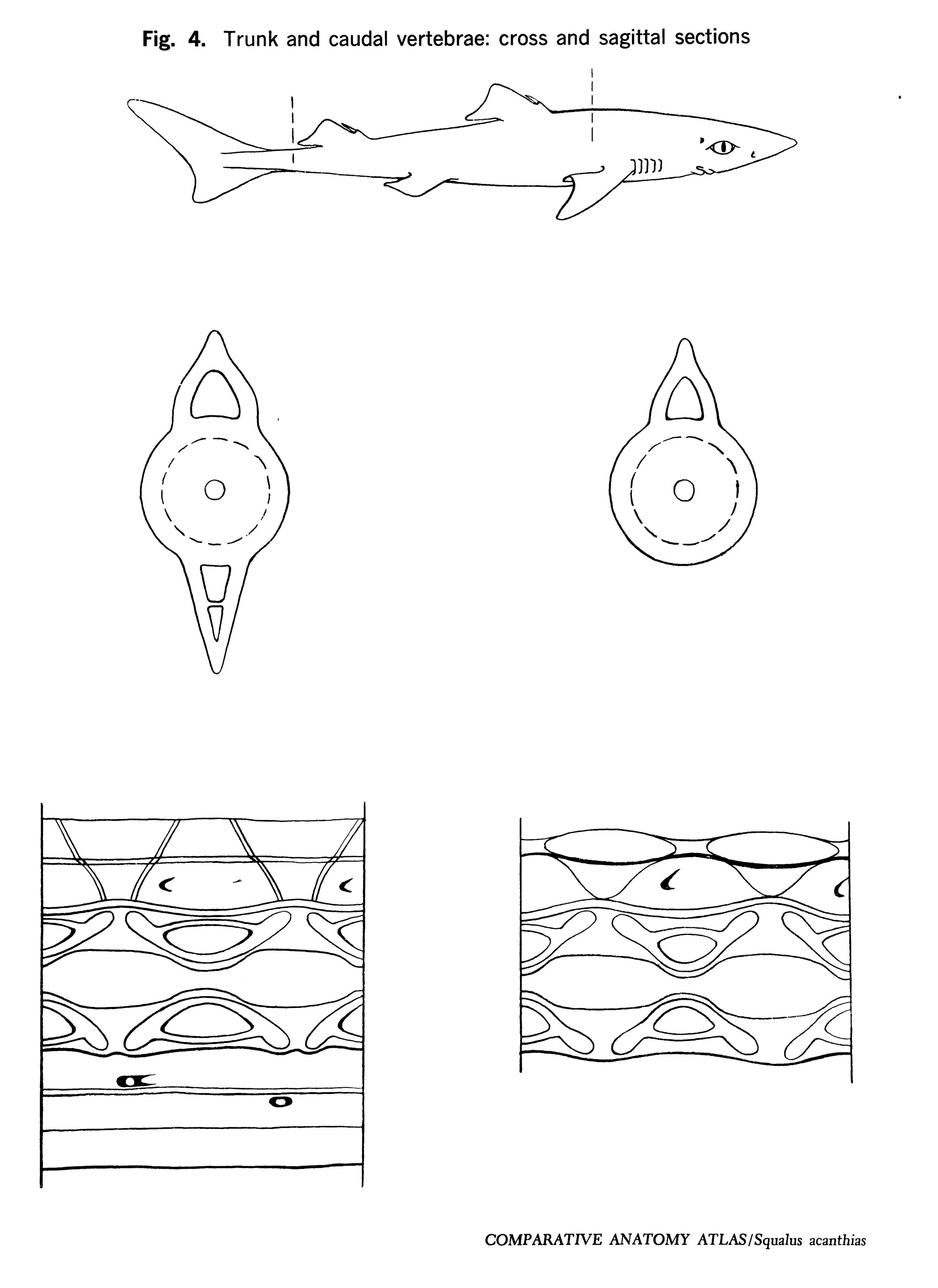 Squalus acantbias Figure 4
