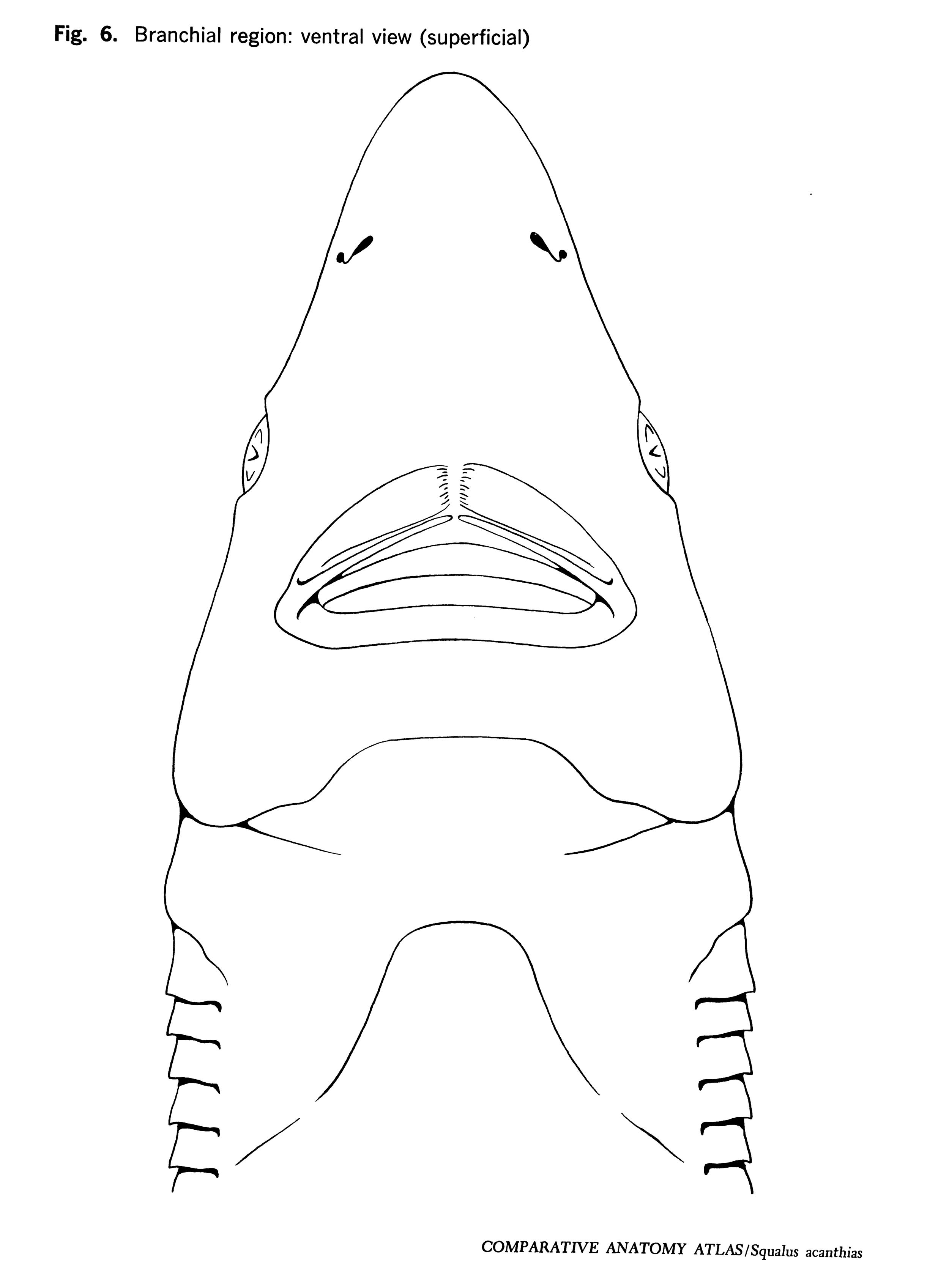 Squalus acantbias Figure 6