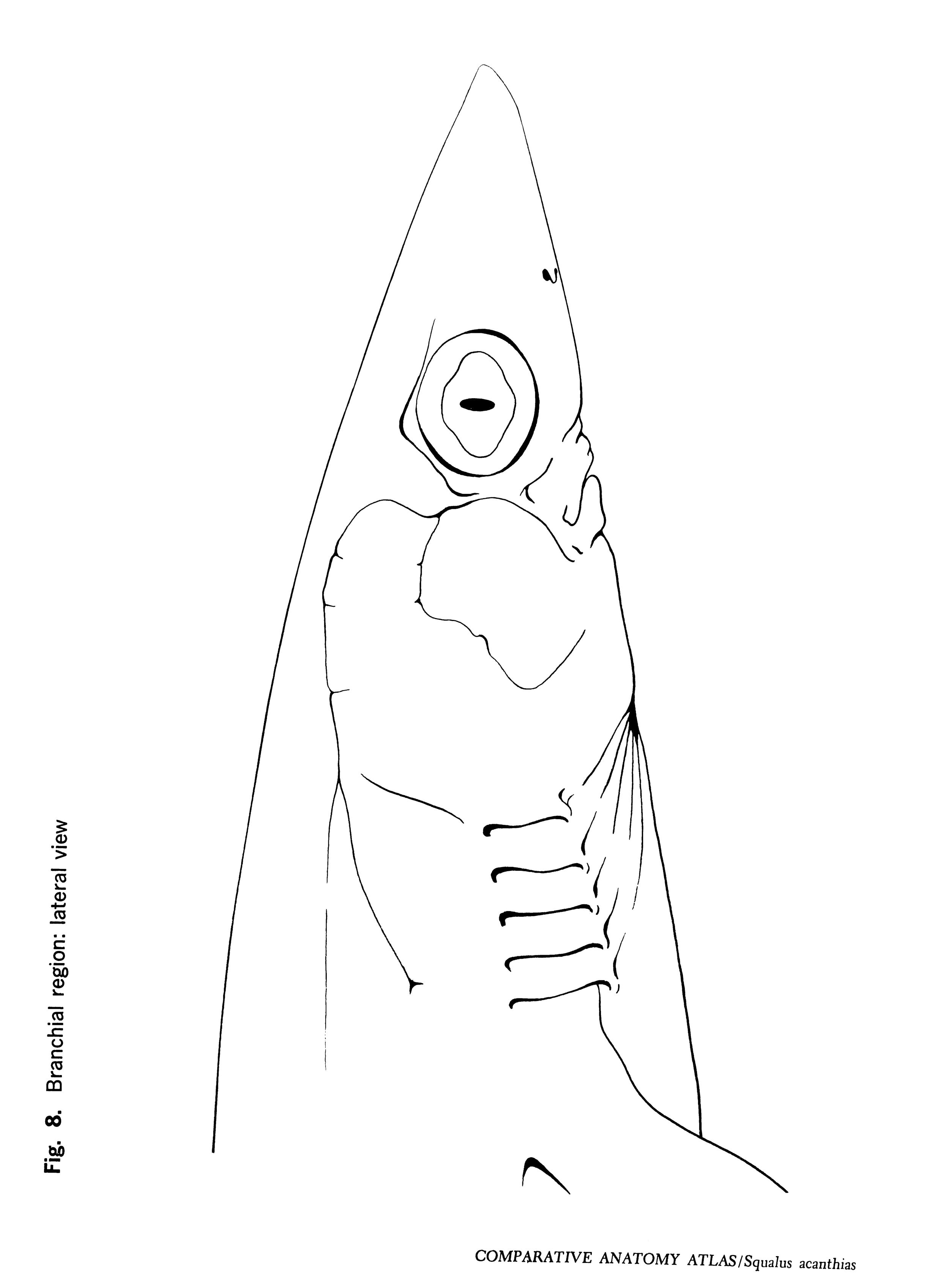 Squalus acantbias Figure 8
