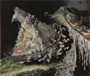 rw-013-AlligatorSnappingTurtle