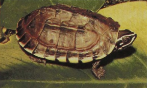 rw-019-IndianSnail-EatingTurtle-Subspecies