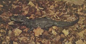 rw-046-WestAfricanDwarfCrocodile2