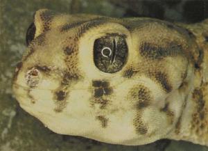 rw-055-Skink-scaledDesertGecko