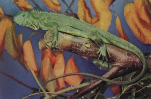 rw-059-CommonIguana