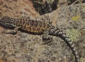 rw-065-MountainIguana