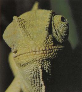 rw-073-CommonChameleon