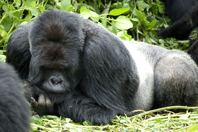 Gorilla photo #5. 10-07-07