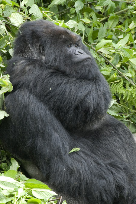 Gorilla photo #7. 10-07-07