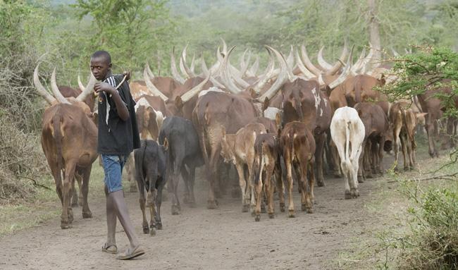 Ankole cattle - 02. 10-02-07