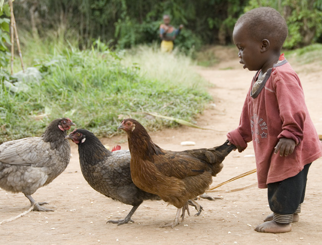 Chicken takes toddler on walk. 10-01-07