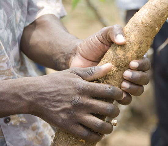Millennium Villege - Mayange, Rwanda.  Cassava root.