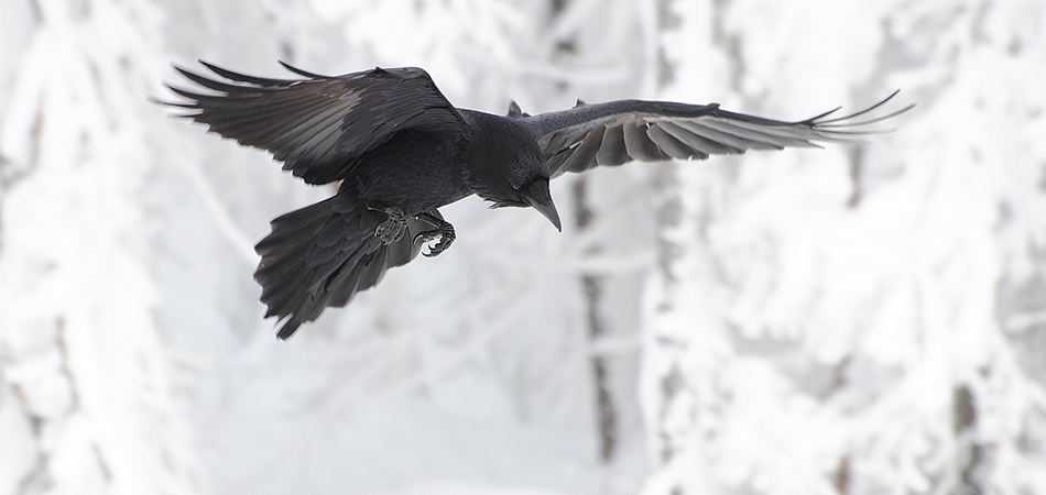 Photos of Ravens on Mt Hood