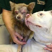 HERO Pit Bull saves injured Chihuahua!!