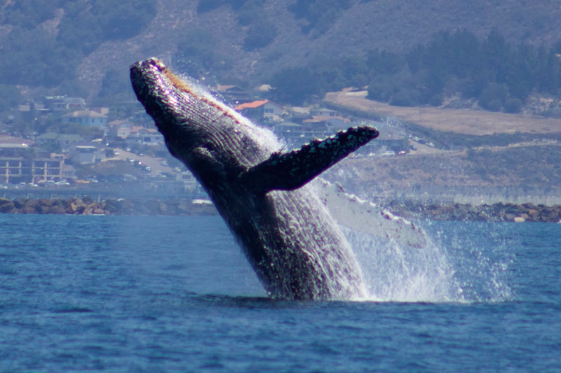 Cambria whale watching