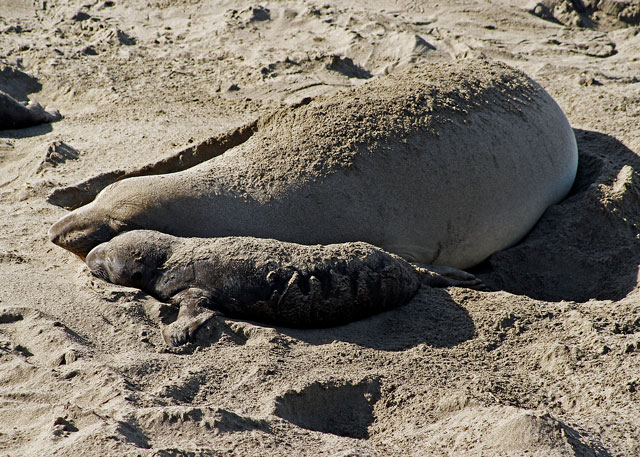 see elephant seals