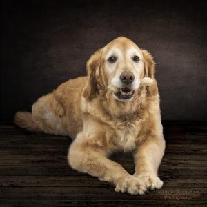 Professional photo of golden retriever with a bone