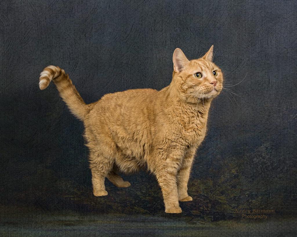 Professional photo of orange cat