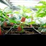 grow weed indoors