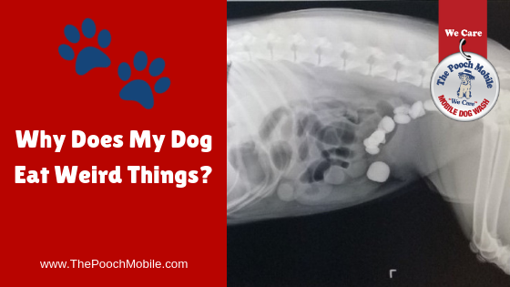 Why Does My Dog Eat Weird Things?