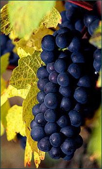 Aleatico Grape