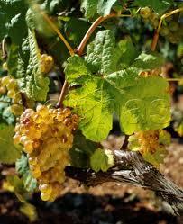 Marsanne grapes