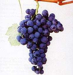 Alicante Bouchet grape