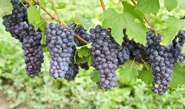 Italian Nebbiolo Red Wine Grapes on the Vine