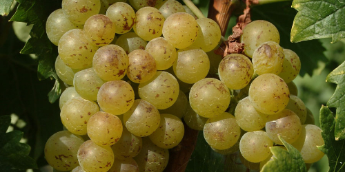 Moscato d'Asti grapes