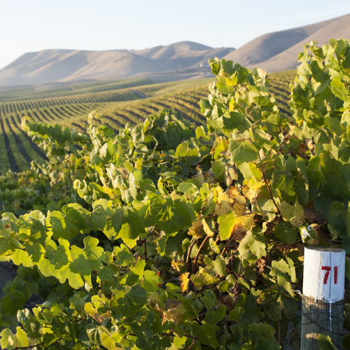 Cambria vineyard