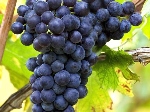 Corvina Grapes