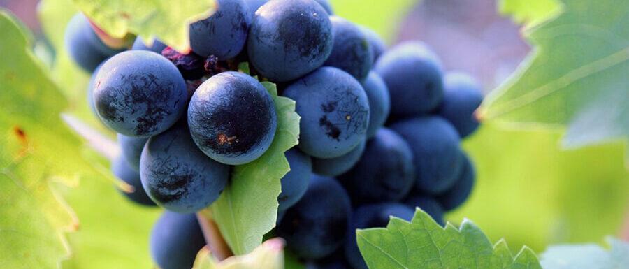Nero d'Avola wine grapes
