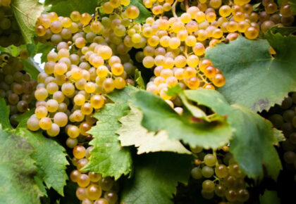 Garganega grapes