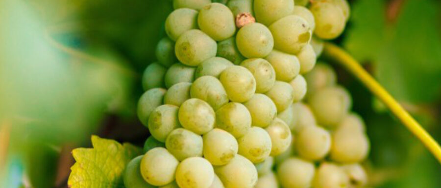 Assyrtiko grapes