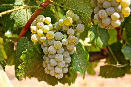 Albarino Grape Cluster