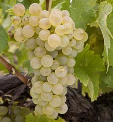 Picpoul Grapes