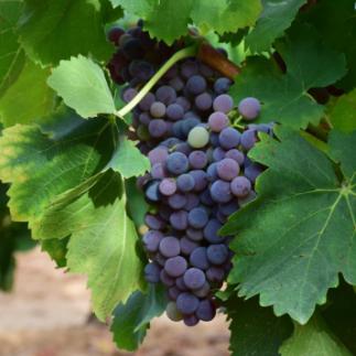 Caladoc grapes