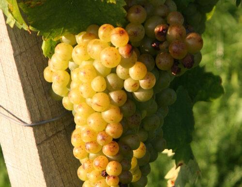 muscat blanc grapes