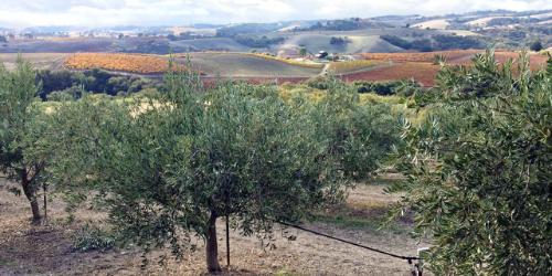 Central Valley Olives