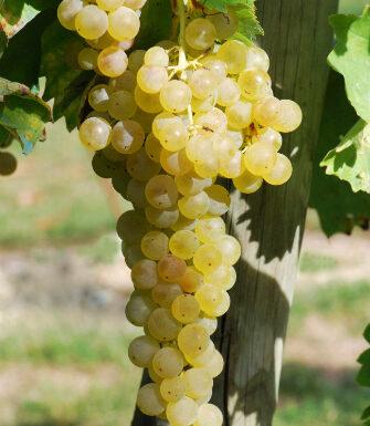 Trebbiano Toscano grapes