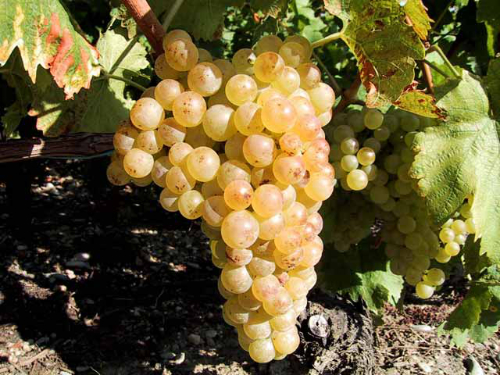 Chasselas grapes
