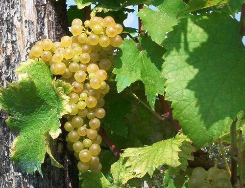 Friulano grapes