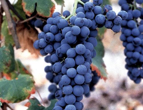 Freisa grapes