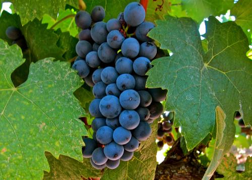Graciano grapes