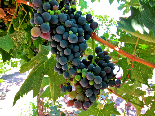 Grignolino grapes