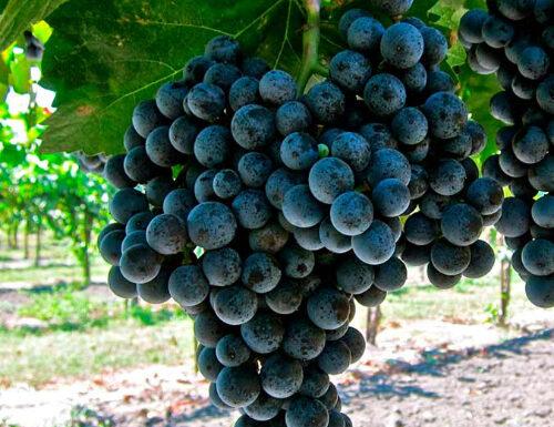 Moristel grapes