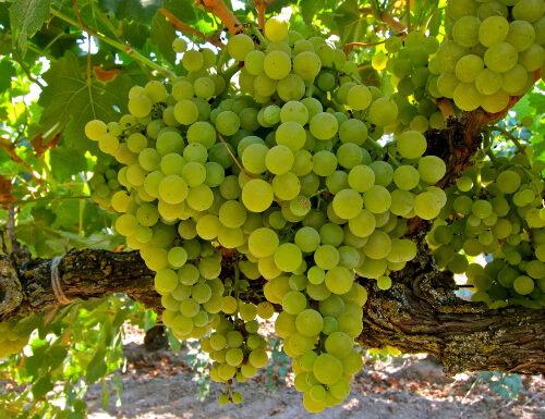 Symphony grapes