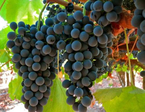 Tinto Cao grapes