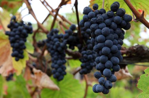 Touriga Nacional grapes